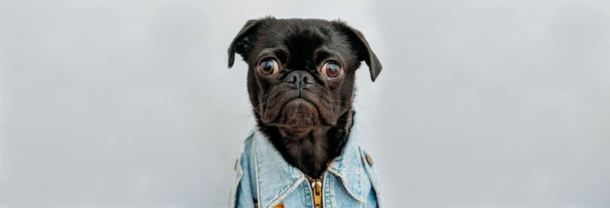 Google's highlighted featured snippet: and why pugs fart so much
